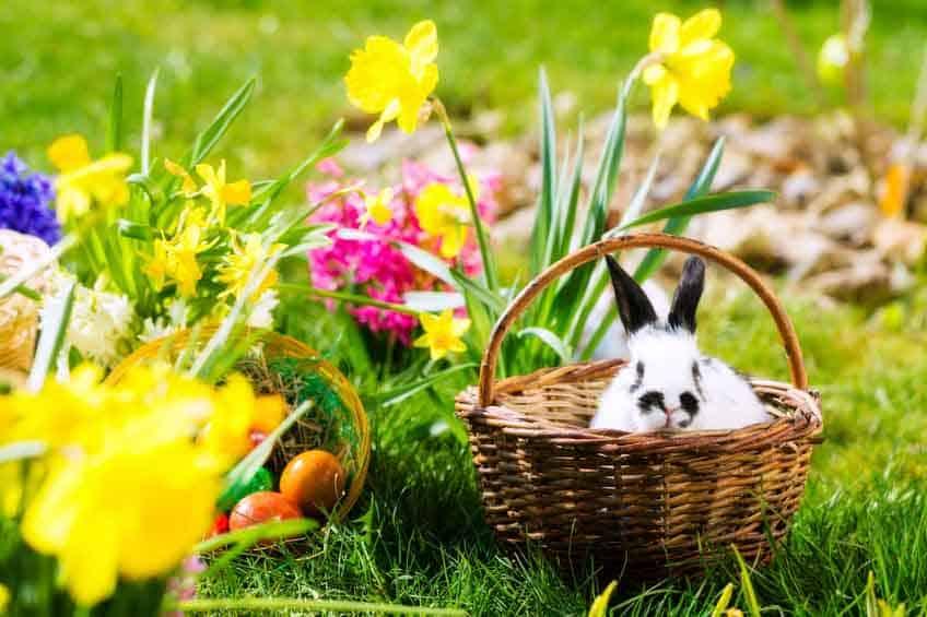Hase in einem Weidenkorb auf grüner Wiese inmitten blühender Osterglocken